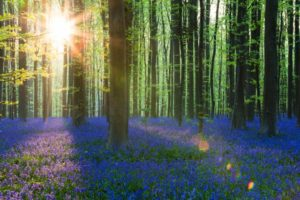 04 May 2013, Belgium --- European beech forest (Fagus sylvatica) and bluebells (Hyacinthoides non-scripta) in the spring, Hallerbos --- Image by © Frank Lukasseck/Corbis
